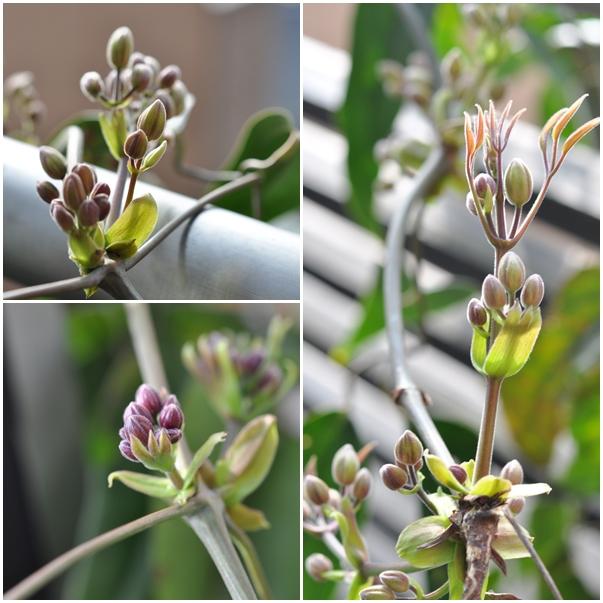 20150317clema-amandiiappleblosson