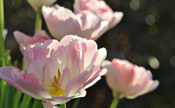 tulip2015a2