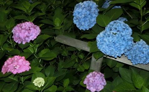 紫陽花ピンク青