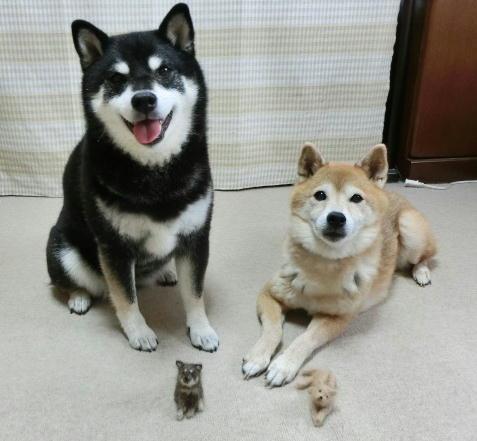 犬毛フエルト コロクロ