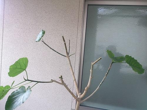 ウンベラータ剪定後枝