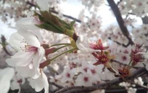 2015-04-03 葉桜