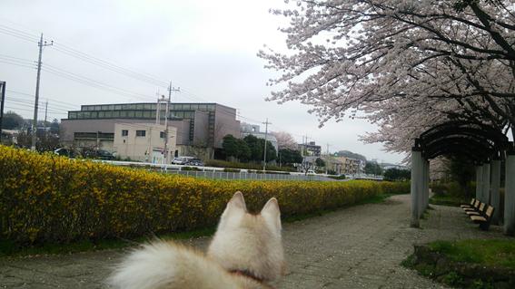 150409 桜05