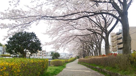 150409 桜01