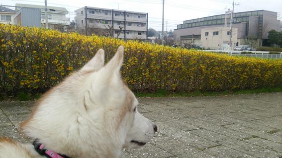 150409 桜04