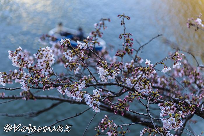 千鳥ヶ淵の桜2 20150331