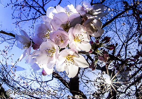 千鳥ヶ淵の桜3 20150331