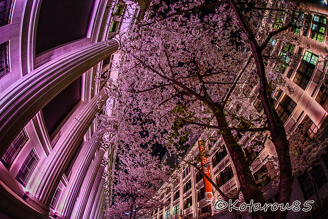 日本橋の三井本館 桜色ライトアップ2