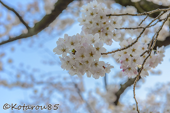 千鳥ヶ淵 桜 20150330