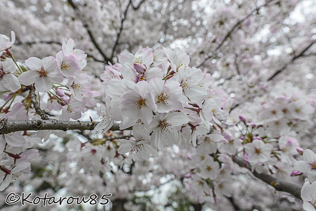 曇り空の桜 20150402