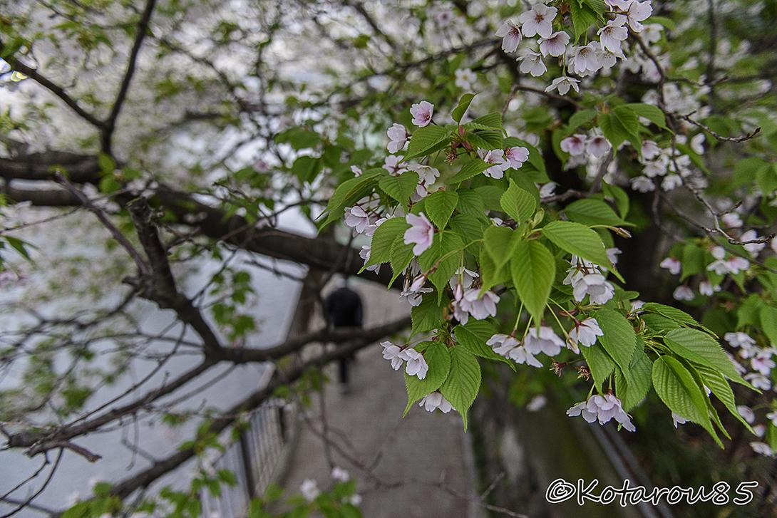 散りゆく桜 20150404