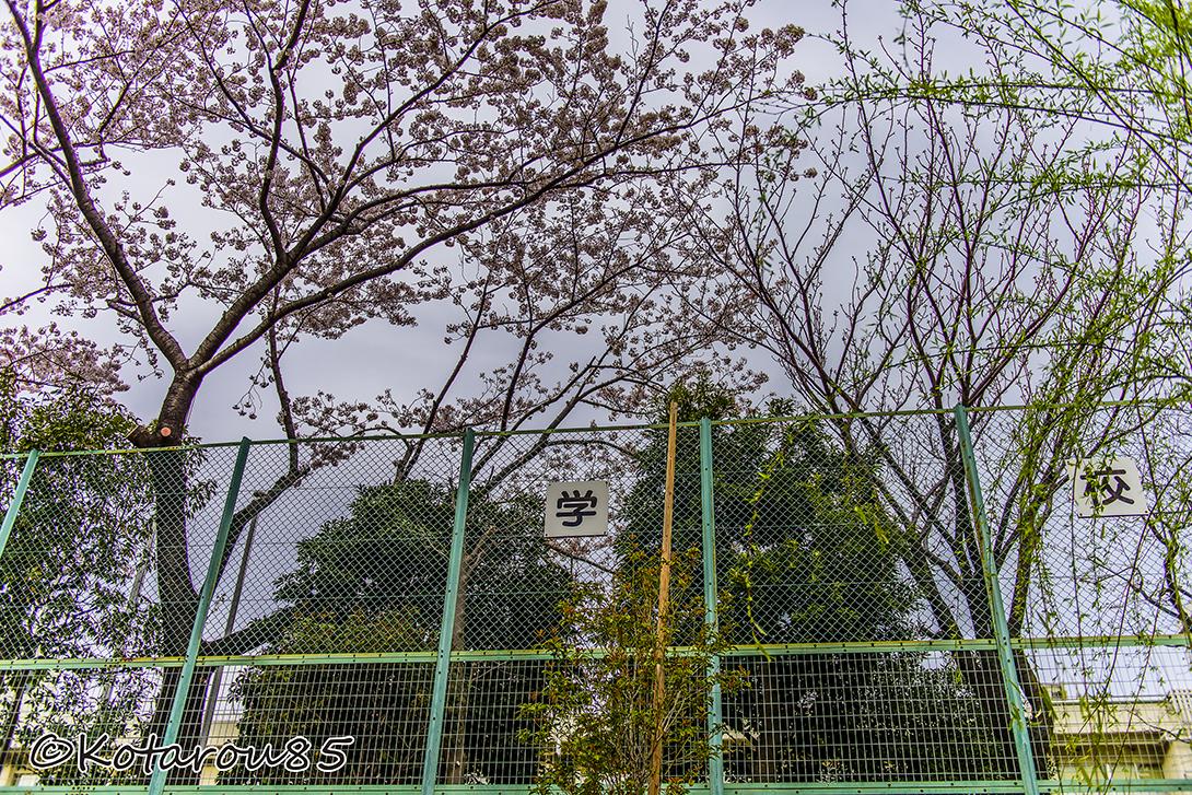 桜が似合う 20150404