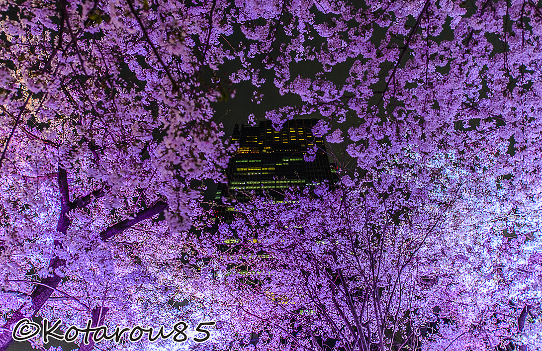 桜 20150404