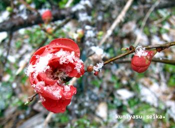 雪の日の木瓜の花
