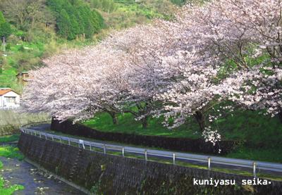桜2015-2