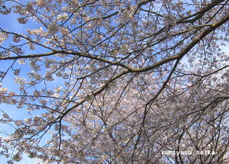 桜2015-3