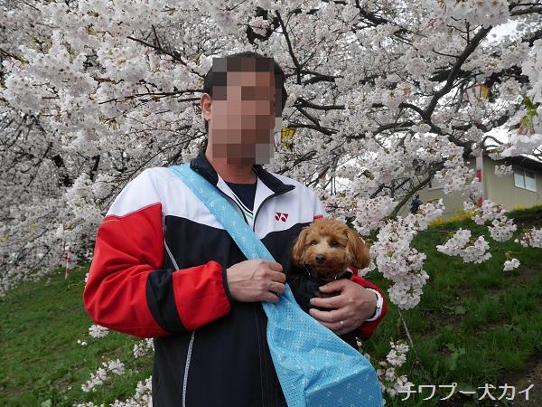 大河原 桜まつり (2)