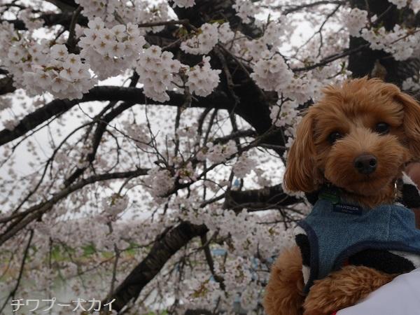大河原 桜まつり (5)
