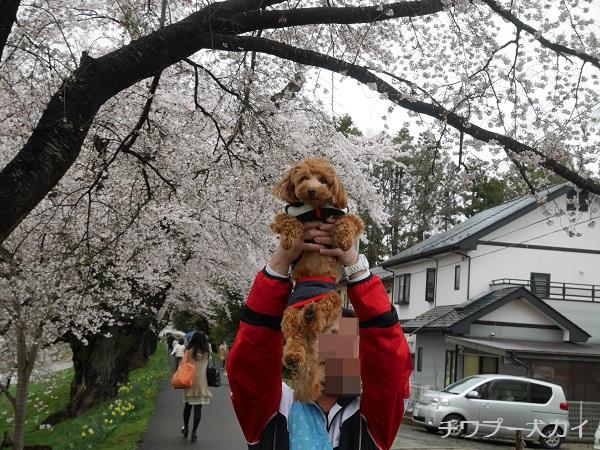大河原 桜まつり (8)