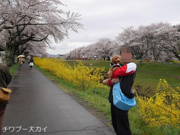 大河原 桜まつり (11)