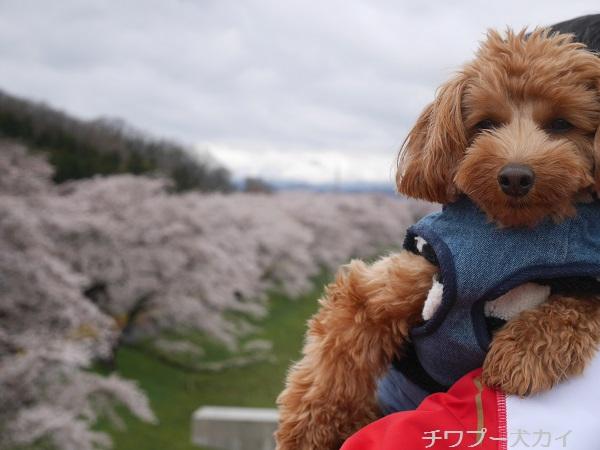 大河原 桜まつり (12)