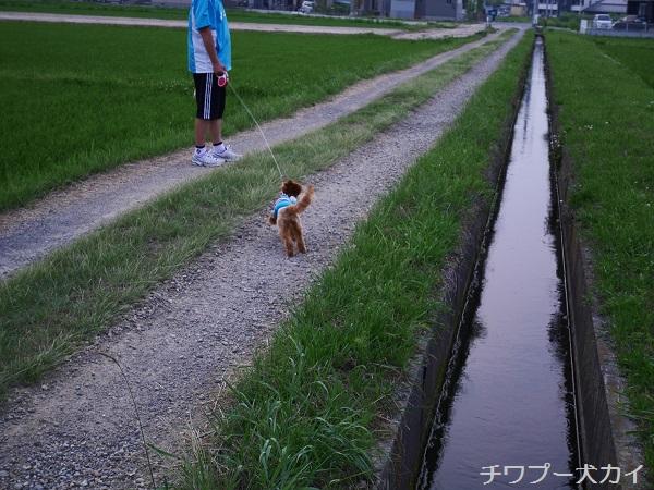 パパと田んぼ散歩はたのしいよ (10)