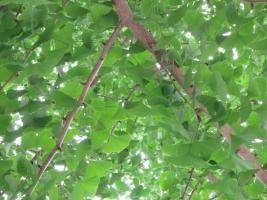夏の銀杏の葉
