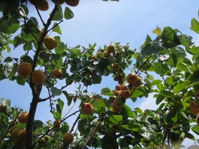 杏、杏、アンズ