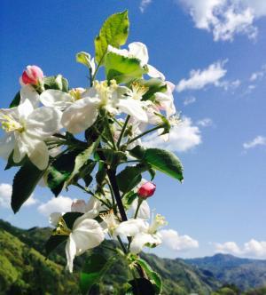 三津屋地区のリンゴの花