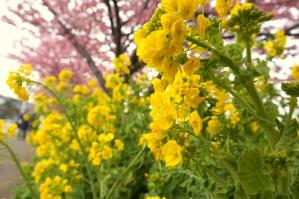 菜の花と桜並木1