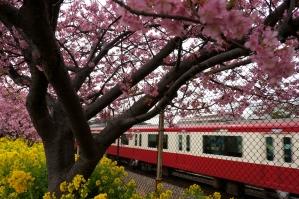 赤京急と河津桜