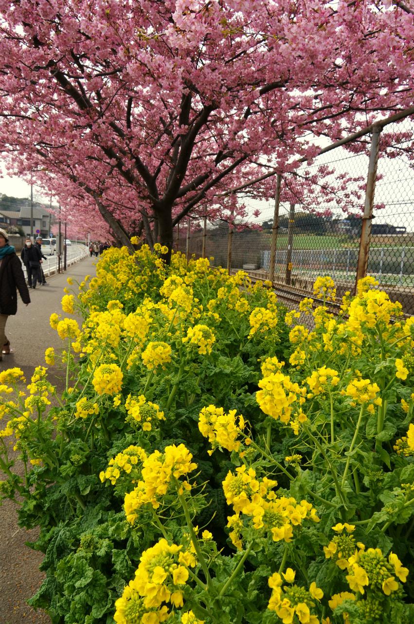 菜の花と桜並木2