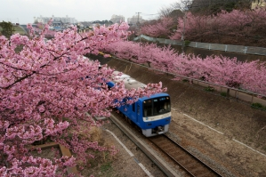 青京急と河津桜