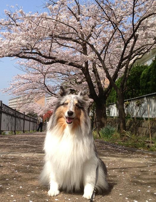 ミク笑顔桜