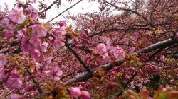サンライズ糸山 河津桜