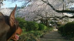 2015 広瀬公園 桜