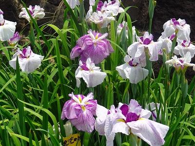 赤塚山公園花しょうぶ