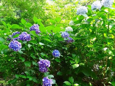 赤塚山公園 あじさい