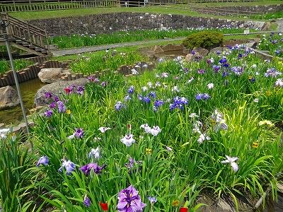 赤塚山公園 花しょうぶ