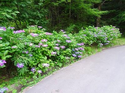 岐阜市百年公園の花しょうぶ