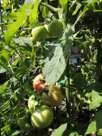 大玉トマトA