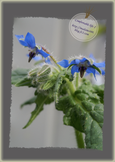 ボリジ青花web用