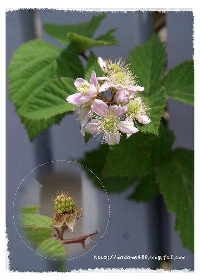 ブラックベリー花と実web用