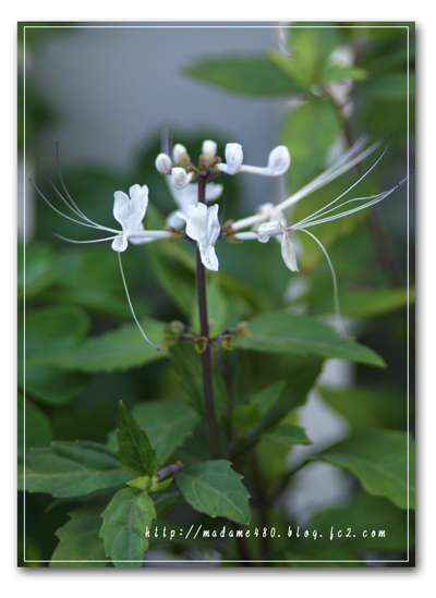 ネコのヒゲweb用花