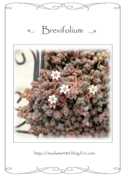 ブレビフォリウム花web用