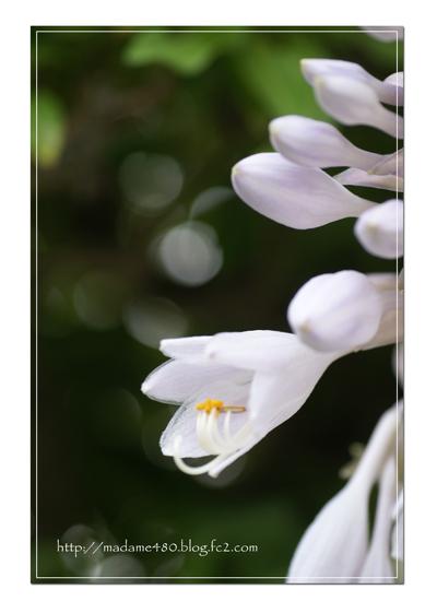 オオバギボウシ花web用A