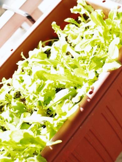 サラダミックス ベランダ野菜