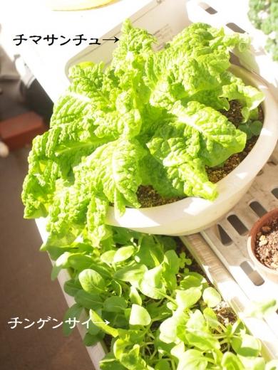 ベランダ野菜