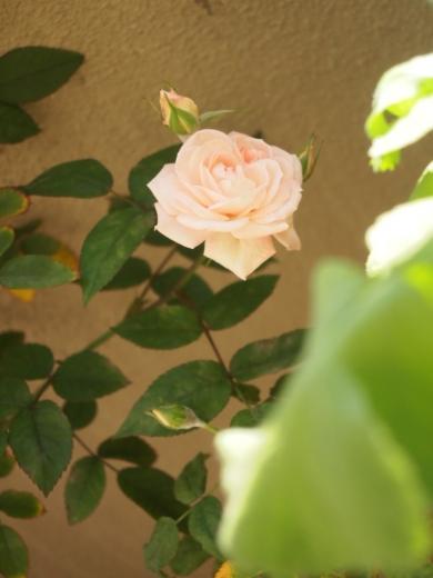 バ様のバラ2015
