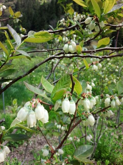 2015ブルーベリーの花